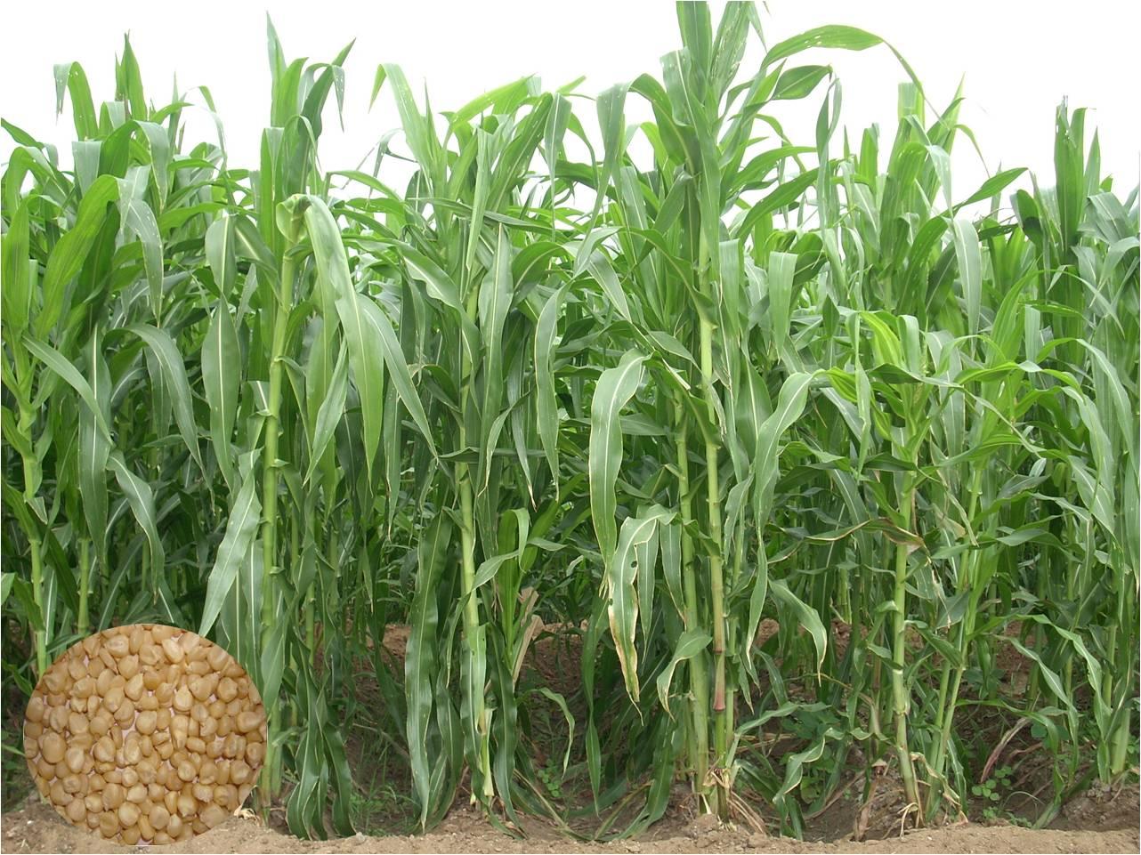 Crop Production::Forage Crops::Fodder Maize