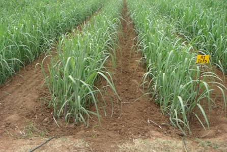 Agriculture Crop Production Sugarcane