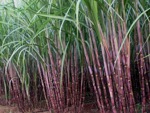 Agriculture :: Crop Production :: Sugarcane