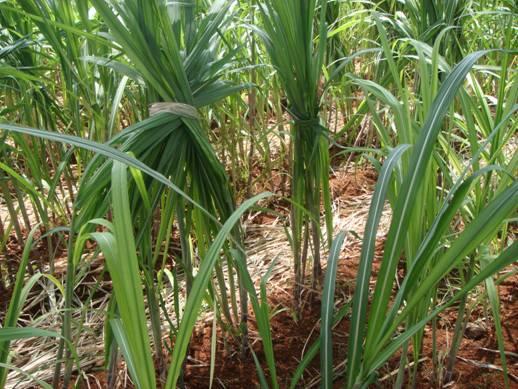 Agriculture :: Crop Production :: Sugarcane