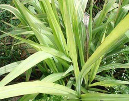 Agriculture ::Nutrient Deficiency-Sugar Crops-Sugarcane-Sulphur