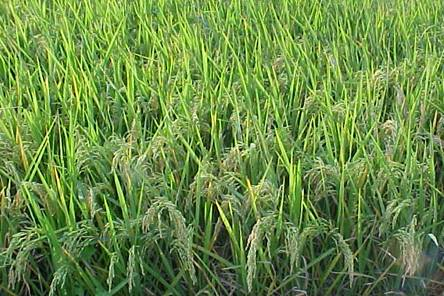 thesis on weed management in transplanted rice