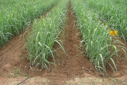 Irrigation Management Sugarcane
