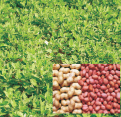 Agriculture :: Crop Boosters :: Groundnut Rich
