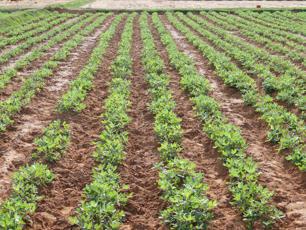 Weed Management :: Groundnut