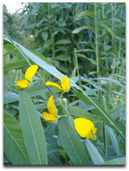 Major Areas :: Green Manuring :: Agronomy of Green manure