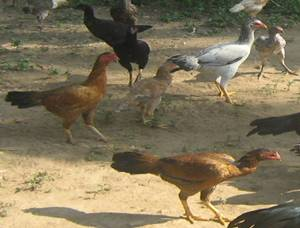 Poultry :: Chicken :: Breeds of Chicken