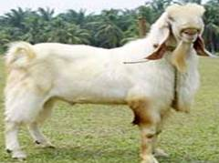 Live Stock :: Goat :: Breeds of Goat