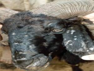 Live Stock :: Goat :: Disease Management & Vaccination Schdule