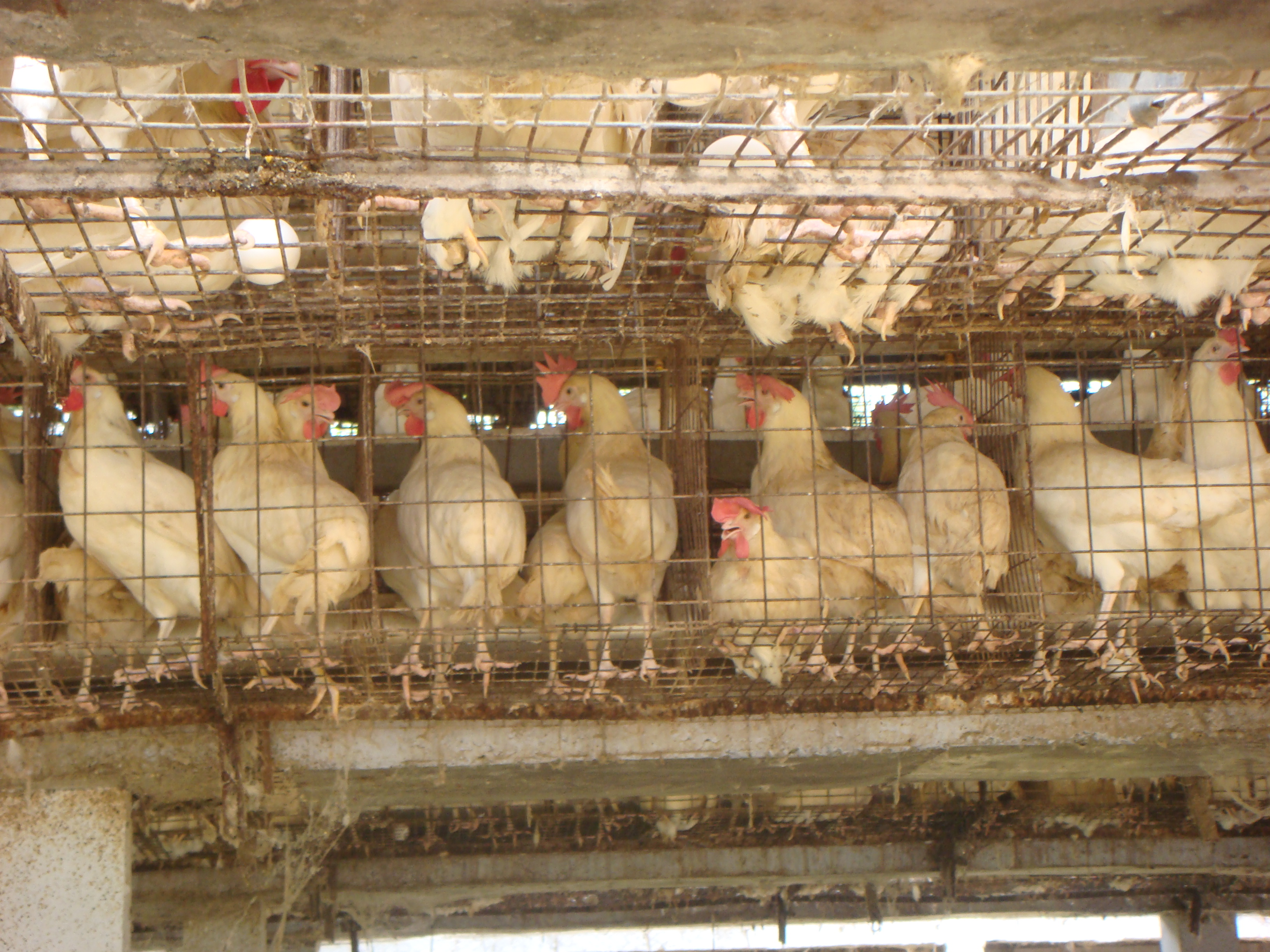 Poultry :: Chicken :: System Of Poultry Rearing