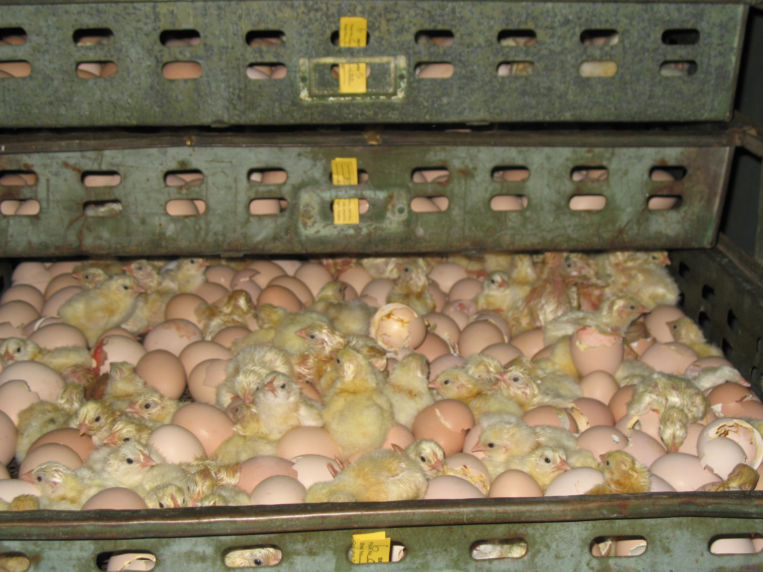 Poultry :: Chicken :: Hatching of Eggs