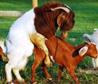 Live Stock :: Goat :: Breeds of Goat