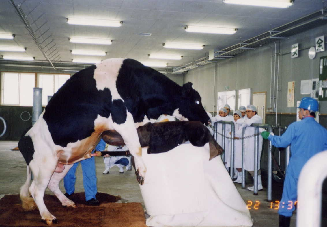 Livestock:: Cattle:: Artificial InseminationAnimal Husbandry