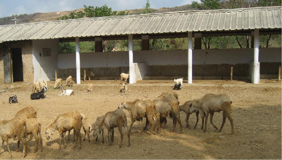 Livestock:: Sheep:: Housing Animal Husbandry ::Sheep Housing