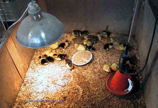 Infrared Heat Lamps For Chickens Ceramic Infrared Chicken