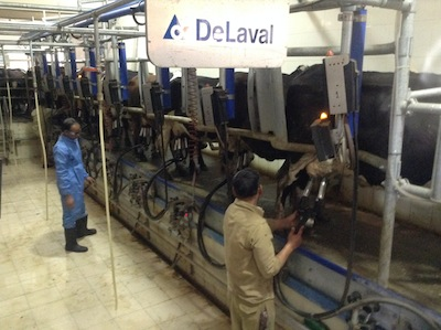 milking male several times