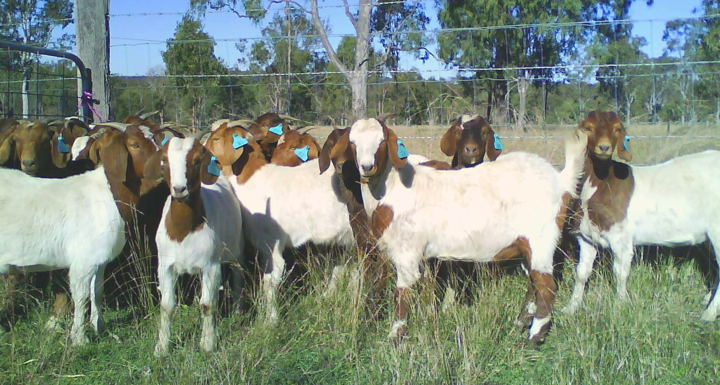 Live Stock :: Goat :: Goat Rearing