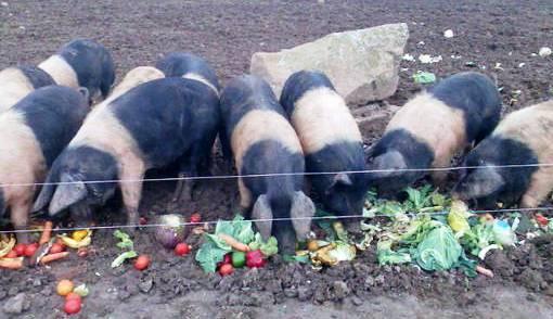 Live Stock Pig Feeding Management