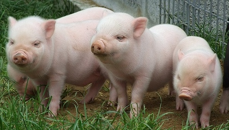 Live Stock Pig Care Management Practices