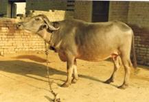 Livestock:: Buffalo:: BreedsAnimal Husbandry ::buffalo breeds