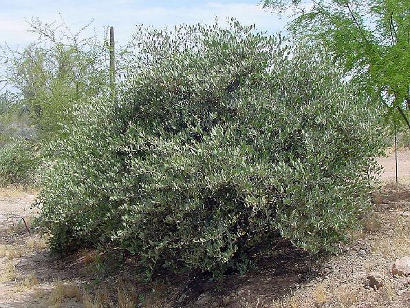 http://agritech.tnau.ac.in/bio-fuels/jojoba%20tree.jpg
