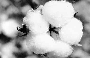 Bt Cotton Pictures
