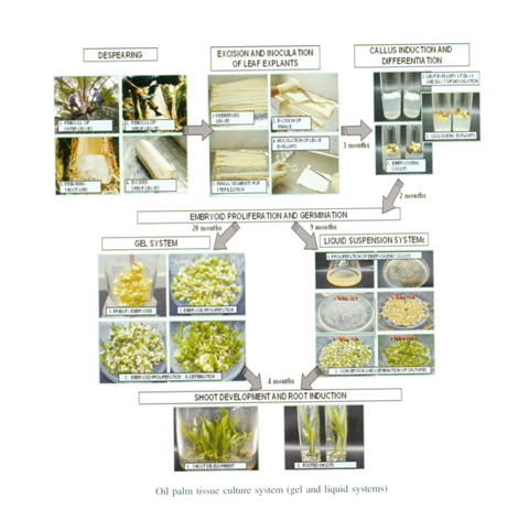 major steps in plant tissue culture essay Basics of plant tissue culture theory procedure self evaluation animation assignment major salts stocks -100 ml there are certain important steps that are not necessarily applicable in a virtual lab.