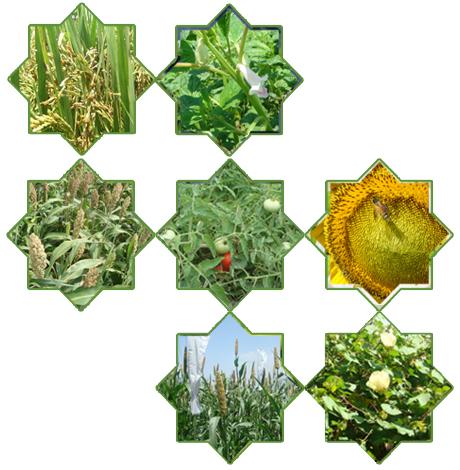 crop variety improvement California crop improvement association - pre-variety germplasm program.