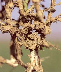 Termites on Chickpea