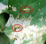 Bihar hairy caterpillar larvae on soybean leaves