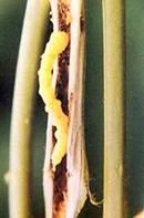 Grub of girdle beetle