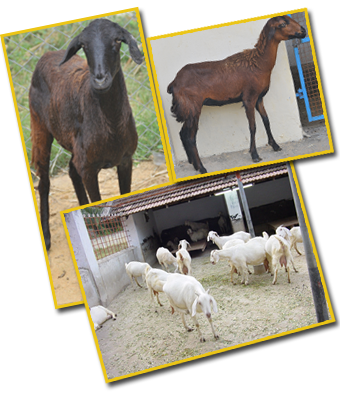 Feeding Management of Sheep and Goats