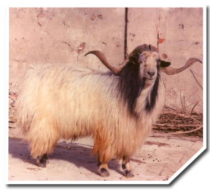 Breeds of Sheep and Goat