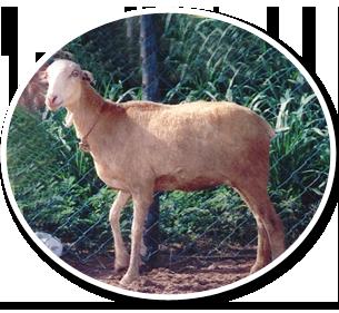 Days pdf goat