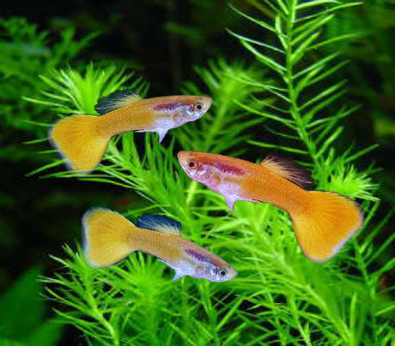 Tnau agritech portal sustainable agriculture for Ornamental fish