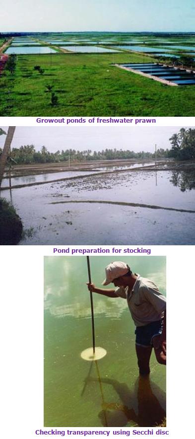 Fisheries :: Freshwater prawn