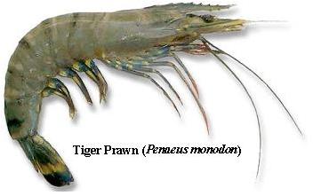 Fisheries :: Shrimp Culture