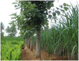 Forestry :: Agroforestry