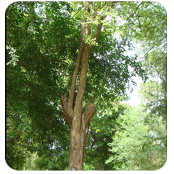 Forestry Timber Tree Species