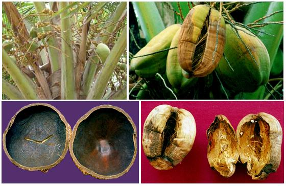 Horticulture :: Plantation Crops :: Coconut-Physiological