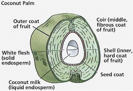 Horticulture Plantation Crops Coconut Botany