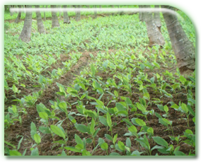 Horticulture Plantation Crops Coconut Inter Cropping