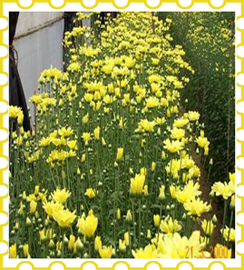 Horticulture :: Flower Crops :: Cut chrysanthemum