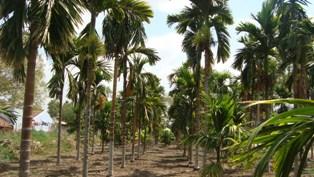 Horticulture Plantation Crops Arecanut