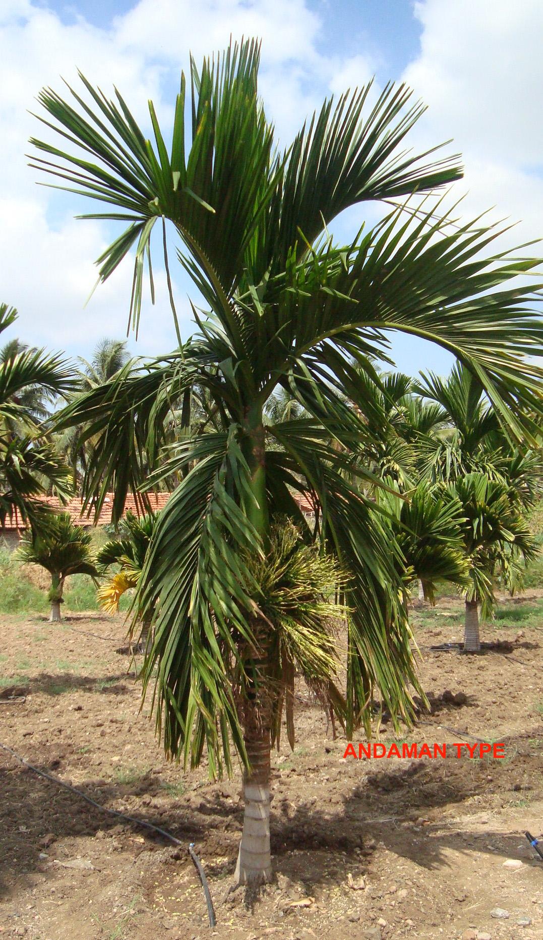 Horticulture :: Plantation Crops :: Arecanut
