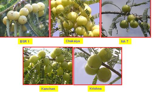Horticulture Fruits Amla