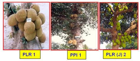 Horticulture :: Fruits:: Jack