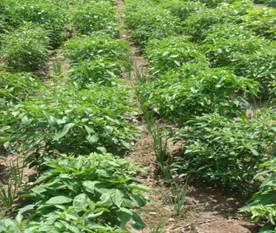 Horticulture :: Vegetables:: Chilli