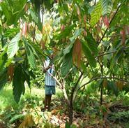 Horticulture :: Plantation Crops :: Cocoa