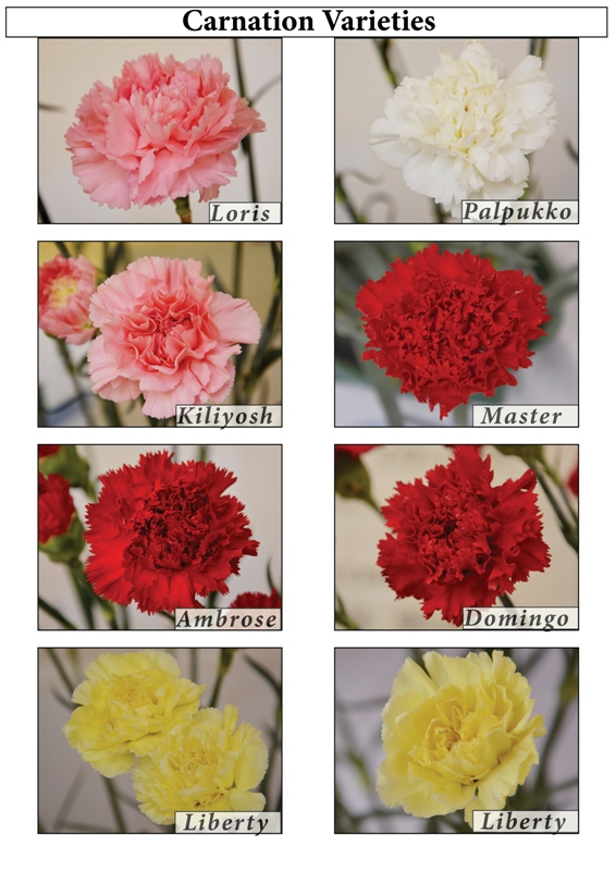 Horticulture  Flower Crops  Carnation